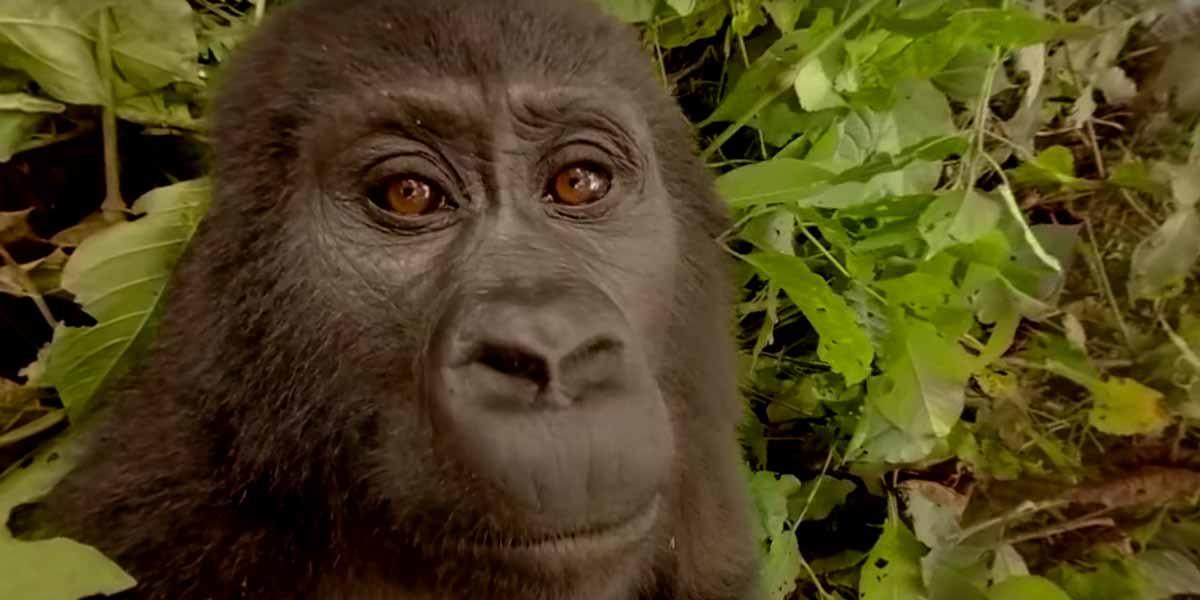 Unter Gorillas – 360-Video aus dem Dschungel