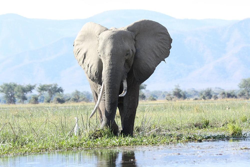 Wie Künstliche Intelligenz Elefantenleben rettet
