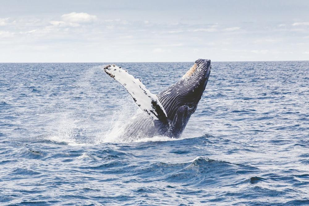 | humpback whale