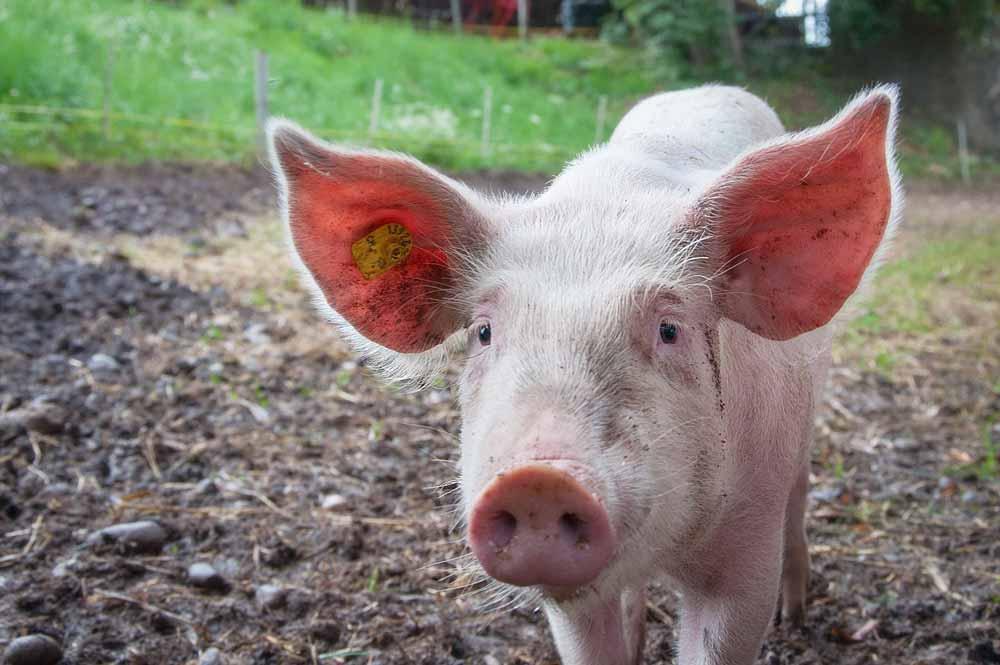 KI-Schwangerschaftstest soll bei der Schweinezucht helfen