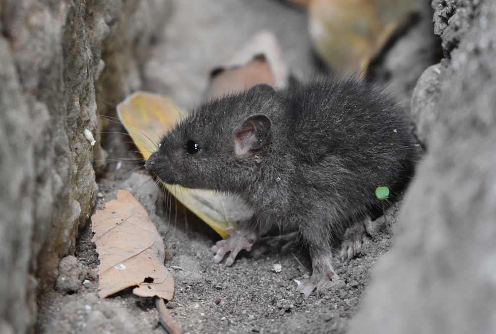 DeepSqueak: KI macht die geheimen Rufe von Mäusen und Ratten hörbar