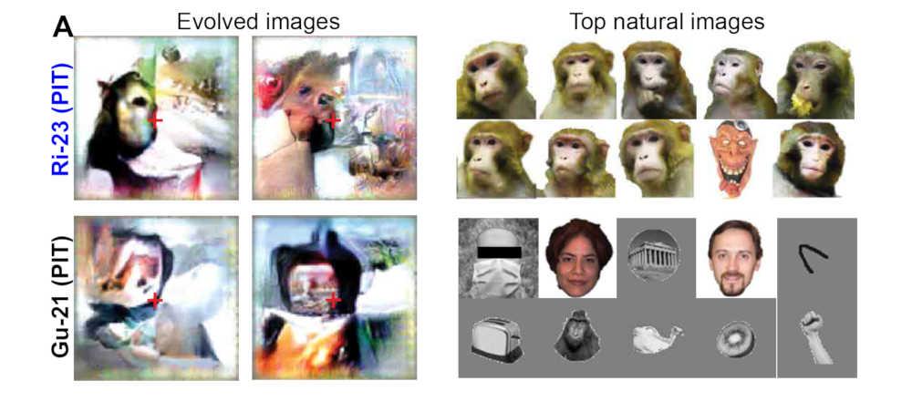 """Links vier der generierten """"Super-Stimuli"""", rechts die natürlichen Bilder, die die stärkste Reaktion hervorbrachten. Bild: Ponce et al."""