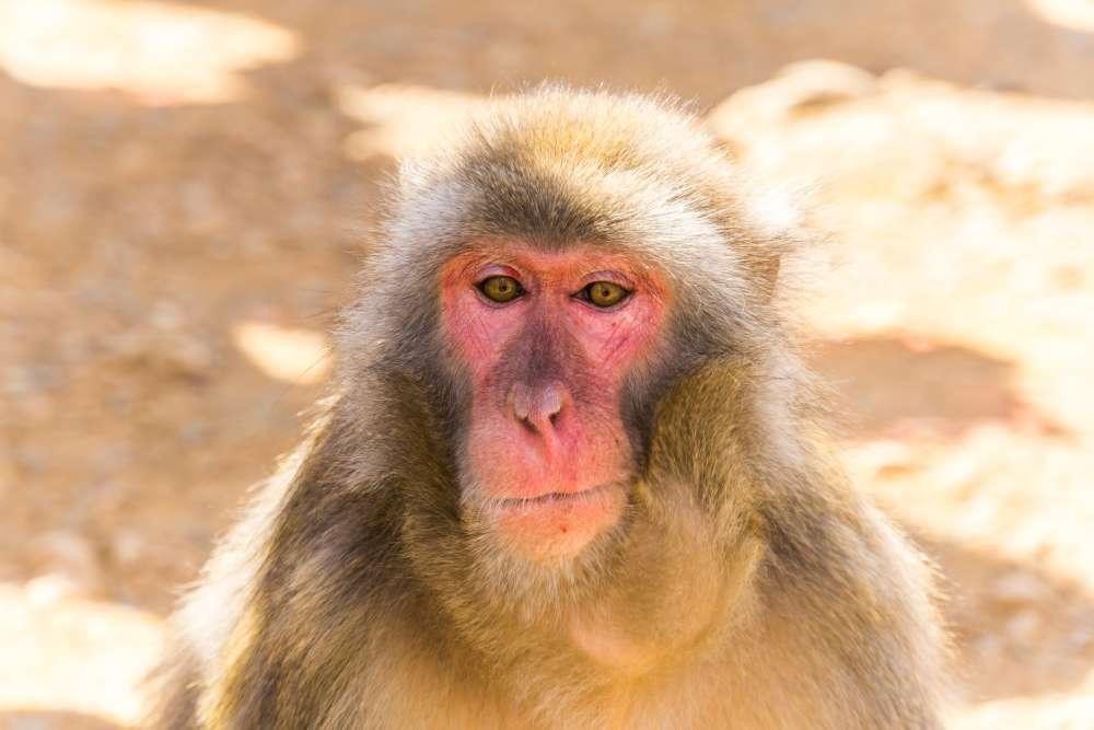 Hirnchip-Sehprothese: Affe sieht Bilder direkt im Gehirn