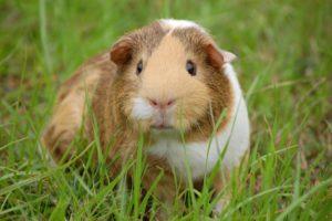 KI Kurios: Wenn aus Meerschweinchen Hunde werden ...