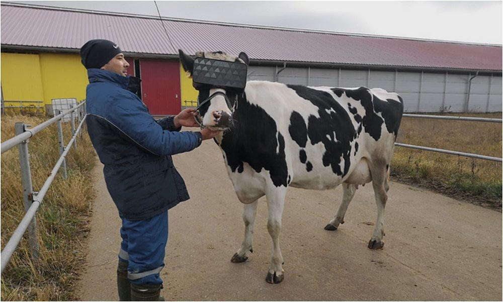 Mann mit Kuh mit VR-Brille auf russischer Farm