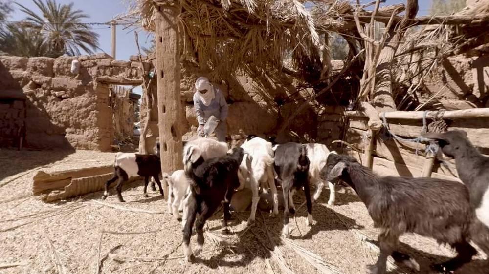 Ziegen bekommen Wasser in einer Oase in Marokko