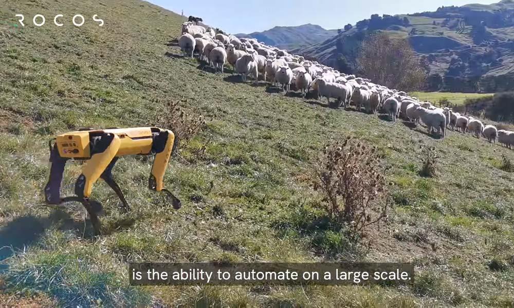Ein autonomer Roboterhund als Hütehund-Ersatz? Schafe finden diese Idee wohl eher mäh.