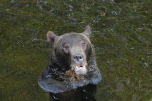 Glücklicher Bär im Wasser