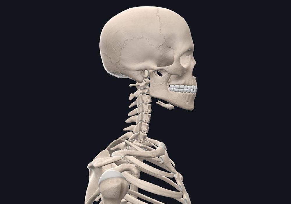 3D_Organon_VR_Skelett