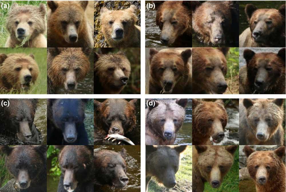 Bären Gesichter